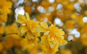 Picture flower, macro, flowers, yellow, Bush, spring, yellow, flowers, macro, bokeh, bokeh, spring, boke, Kerry, queria