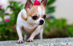 Picture dog, Chihuahua, bokeh, dog
