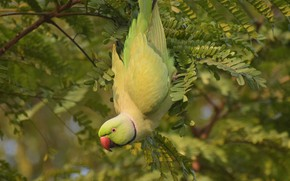 Picture branches, bird, parrot, Indian ringed parrot
