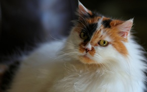 Picture cat, eyes, look, background, portrait, blur, muzzle, fluffy, spotted, motley