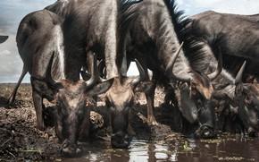 Picture Zambia, Blue wildebeest, Liuwa Plain National Park, Connochaetes taurinus