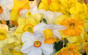 Picture macro, petals, white, yellow, Daffodils