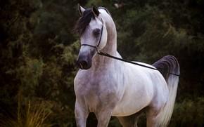 Picture grey, horse, horse, stallion, Arab