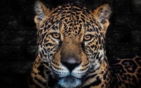 Picture look, portrait, Jaguar