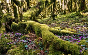 Picture forest, roots, tree, cyclamen