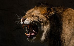 Picture language, face, predator, Leo, mouth, mane, fangs, grin, wild cat