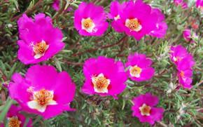 Picture flowers, purslane, hot pink, Meduzanol ©