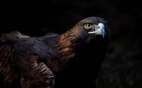 Wallpaper tail, birds, the dark background, Golden eagle, beak, eagle, predator, look