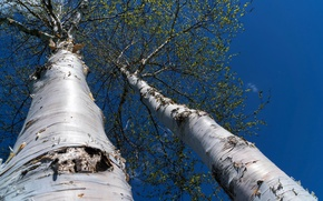 Picture the sky, trees, spring, birch