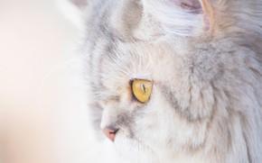 Picture cat, cat, portrait, muzzle, profile