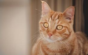 Picture cat, look, portrait, muzzle, red cat