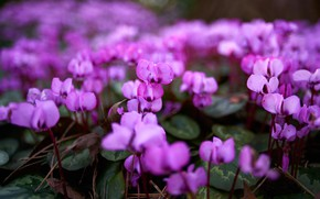 Picture leaves, flowers, glade, spring, blur, gentle, flowering, lilac, cyclamen, spring