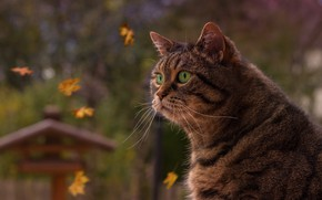 Picture autumn, cat, look, leaves, portrait, green eyes, serious