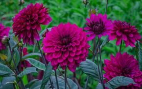 Picture summer, flowers, dahlias