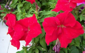 Picture flowers, red, Petunia, Mamala ©