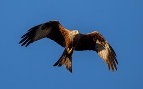 Picture birds, wings, predator, flight, kite, red kite