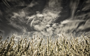 Picture the sky, nature, corn