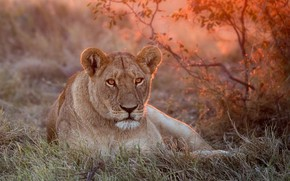 Wallpaper nature, Leo, lioness, lioness, green, grass, sunset, lion, a lion or a lioness, rest