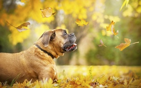 Picture autumn, leaves, dog, boxer