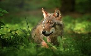 Picture grass, look, nature, animal, wolf, predator