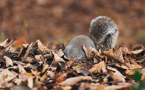 Picture autumn, leaves, fluffy, protein, tail