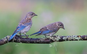 Picture birds, branch, a couple, East sialia