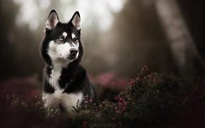 Picture look, portrait, dog, husky, bokeh, Heather