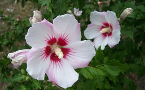 Picture flowers, pair, white, hibiscus, Meduzanol ©