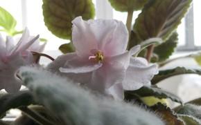 Picture light, pink, plant, Flower, violet