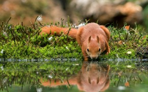 Picture grass, water, pose, reflection, moss, plants, protein, muzzle, animal, red, drink, pond, wildlife, squirrel, rodents, …