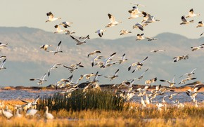 Picture mountains, birds, lake, Canada, geese