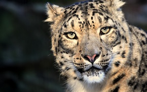 Picture cat, eyes, look, snow leopard