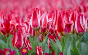Picture tulips, buds, motley, Primula