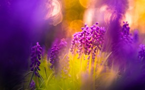 Picture light, flowers, nature, background, lilac, treatment, spring, blur, bokeh, Muscari, composition, hyacinths, hot pink, hyacinth …