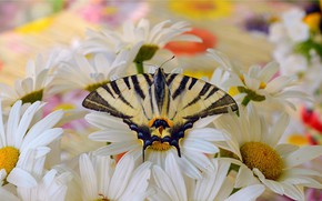 Picture Macro, Butterfly, Macro, Butterfly, White flowers, White flowers