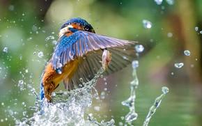Wallpaper squirt, Kingfisher, Kingfisher, fish, bird, catch, water