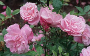 Picture flowers, Bush, roses, petals, buds, pink