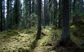 Wallpaper forest, moss, trees