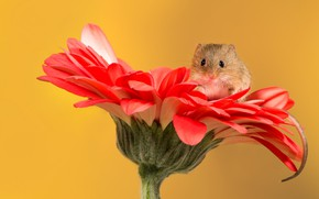 Picture flower, mouse, ponytail, gerbera, the mouse is tiny