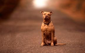 Picture dog, bokeh, Pitbull