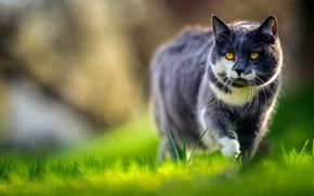 Wallpaper Kote, cat, grass, walk, bokeh