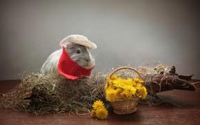 Picture Guinea Pig, dandelion, hay, Animal, flowers