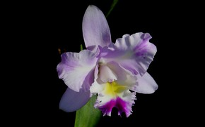 Picture macro, background, petals, Orchid