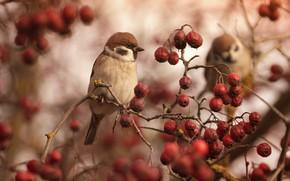 Picture berries, bird, Sparrow