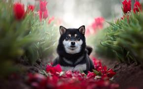 Picture look, flowers, dog, petals, tulips, bokeh, Shiba inu