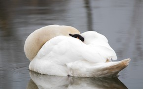 Picture sleep, white, beautiful, water, stay, Swan