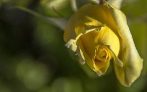 Picture macro, rose, Bud, bokeh, yellow rose