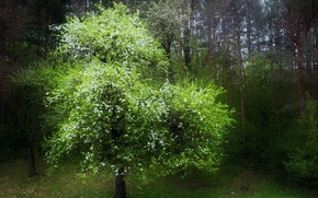 Picture tree, flowering, the edge of the forest