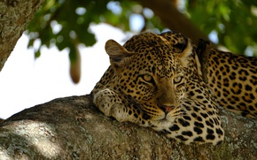 Wallpaper wild cat, on the tree, face, observation, stay, predator, lies, leopard