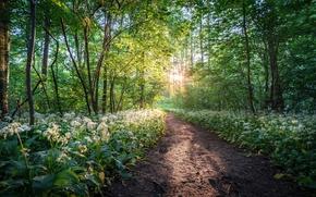 Picture forest, trees, flowers, Park, Germany, path, Germany, Saxony, ramsons, Saxony, Leipzig, Leipzig, Wildpark Leipzig, Connewitz